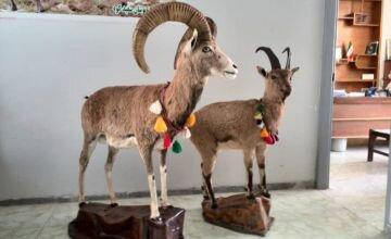 کشف اجزای شکار شده حیوانات وحشی در ازنا