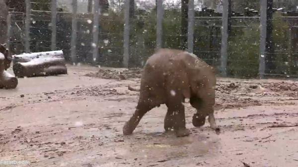 (ویدئو) خوشحالی بچه فیل در برف