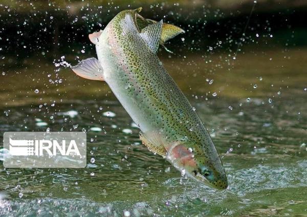 خبرنگاران 64 تن گوشت ماهی قزل آلا در محلات فراوری شد